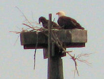 picture of eagle and eaglet in nest
